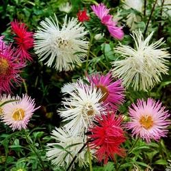 Пазл онлайн: Астрочки в саду
