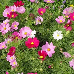 Пазл онлайн: Цветет космея