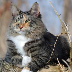 Пазл онлайн: Норвежский лесной кот