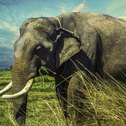 Пазл онлайн: Слон