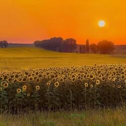 Пазл онлайн: Золотое поле подсолнухов