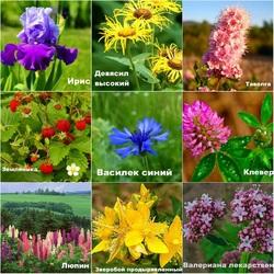 Пазл онлайн: Полевые и луговые растения
