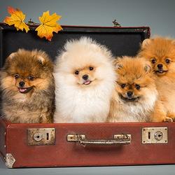 Пазл онлайн: Собачки в чемодане