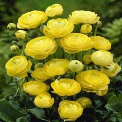 Пазл онлайн:  Лютики садовые