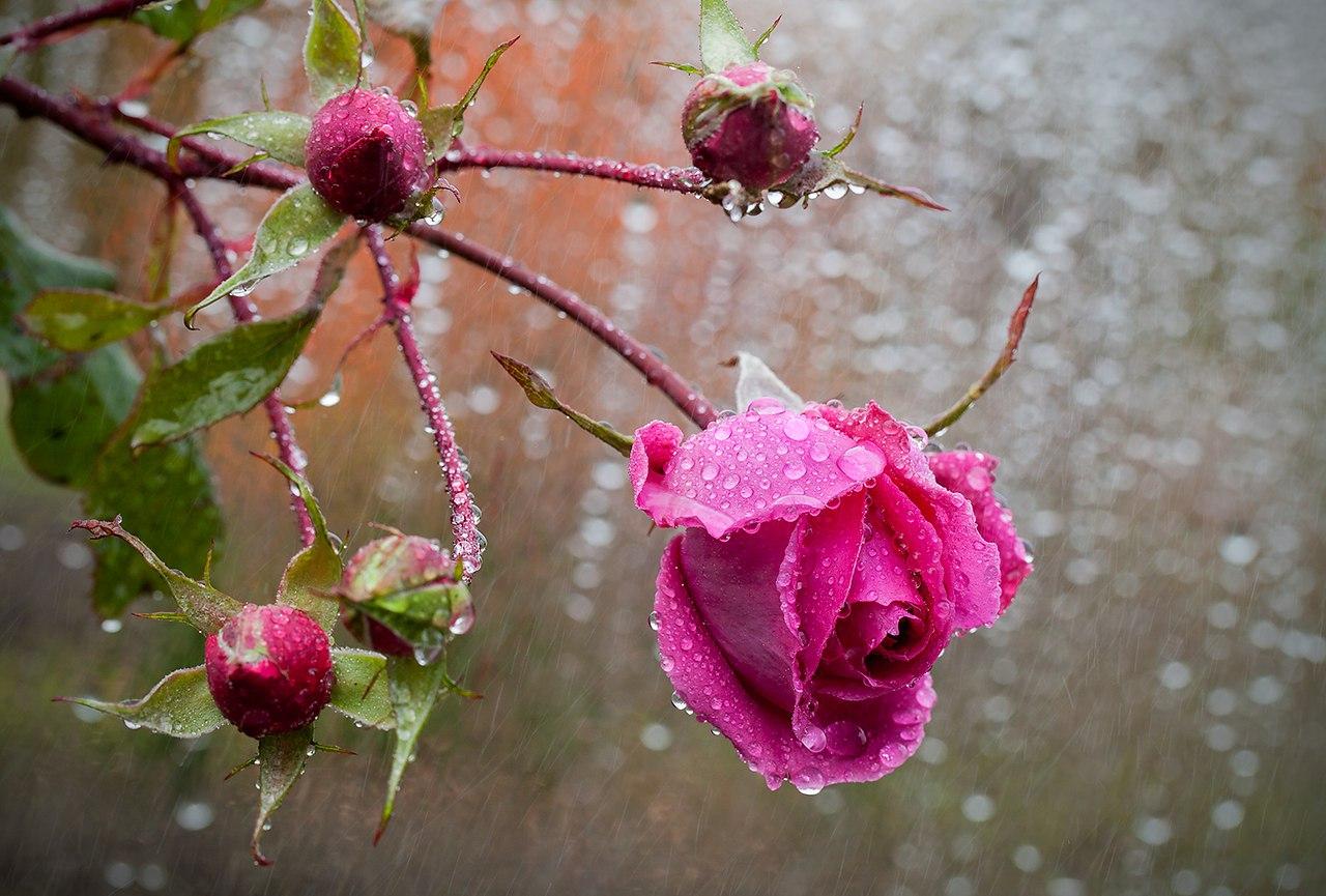 Плачущая синяя роза черно белое фото что