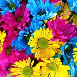 Пазл онлайн: Разноцветные хризантемы