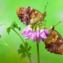 Пазл онлайн: Бабочки на аквилегии