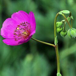 Пазл онлайн: Цветок с бутонами