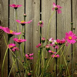 Пазл онлайн: Цветы у забора