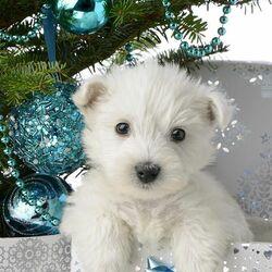 Пазл онлайн: Белый щенок
