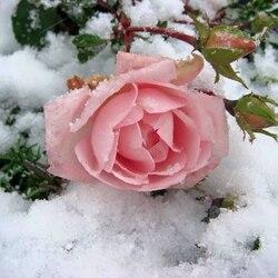 Пазл онлайн: Поцелуй зимы