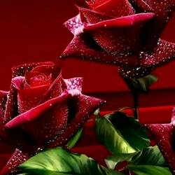 Пазл онлайн: Розы в росе