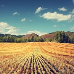Пазл онлайн: Скошенное поле
