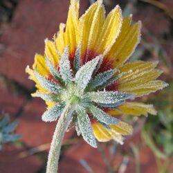 Пазл онлайн: Цветок в снегу