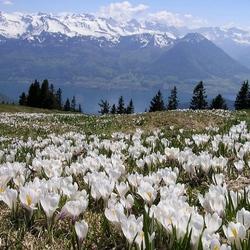 Пазл онлайн: Альпийские крокусы
