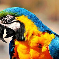Пазл онлайн: Попугай Ара