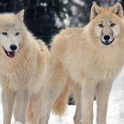 Пазл онлайн: Полярные волки