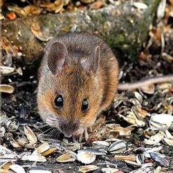 Пазл онлайн: Мышка