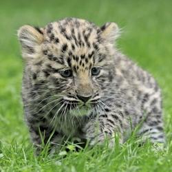 Пазл онлайн: Маленький хищник