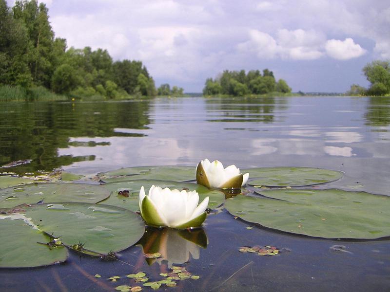 озеро с камышами и кувшинками картинки изготовить самодельный