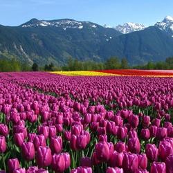 Пазл онлайн: Поле тюльпанов