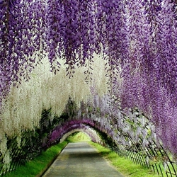 Пазл онлайн: Тоннель цветов в японском саду Кавати Фудзи