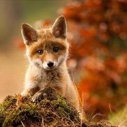 Пазл онлайн: Любопытный лисёнок