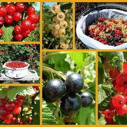 Пазл онлайн: Спелые ягодки