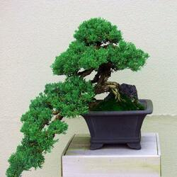 Пазл онлайн: Хвойное дерево