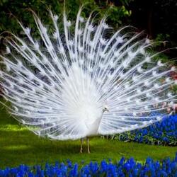 Пазл онлайн: Белый павлин в парке