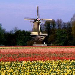 Пазл онлайн: Тюльпанные поля Голландии