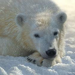 Пазл онлайн: Белый медведь