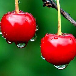 Пазл онлайн: Спелые вишни