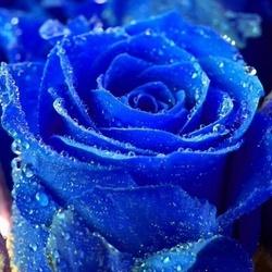 Пазл онлайн: Синяя роза