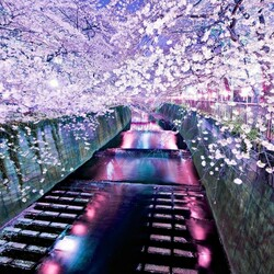 Пазл онлайн: Цветение сакуры в Японии