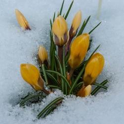 Пазл онлайн: Первые цветы
