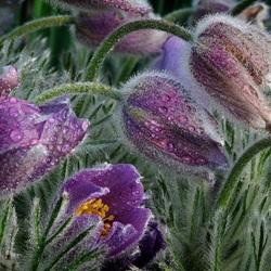 Пазл онлайн: Цветы в росе