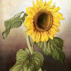 Пазл онлайн: Цветок Солнца