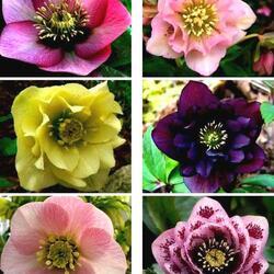 Пазл онлайн: Красивые цветы морозника