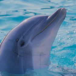 Пазл онлайн: Дельфин