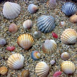 Пазл онлайн: Морские ракушки