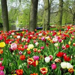 Пазл онлайн: Тюльпаны Кёкенхофа