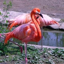 Пазл онлайн: Фламинго