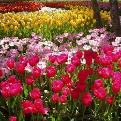 Пазл онлайн: Тюльпаны Кёкенхоф