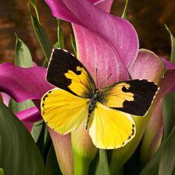 Пазл онлайн: Бабочка и розовые каллы