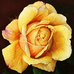 Пазл онлайн: Желтая роза