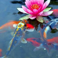 Пазл онлайн: Пруд с золотыми рыбками