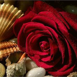 Пазл онлайн: Роза и ракушки