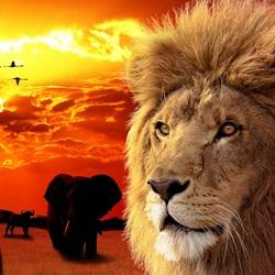 Пазл онлайн: Царь саванны