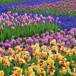 Пазл онлайн: Королевский парк цветов Кёкенхоф
